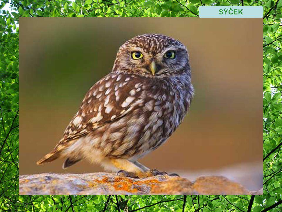 Místní nářečí Ptáci si neprozpěvují jen tak pro radost a zadaný samec nezpívá pro samičku.