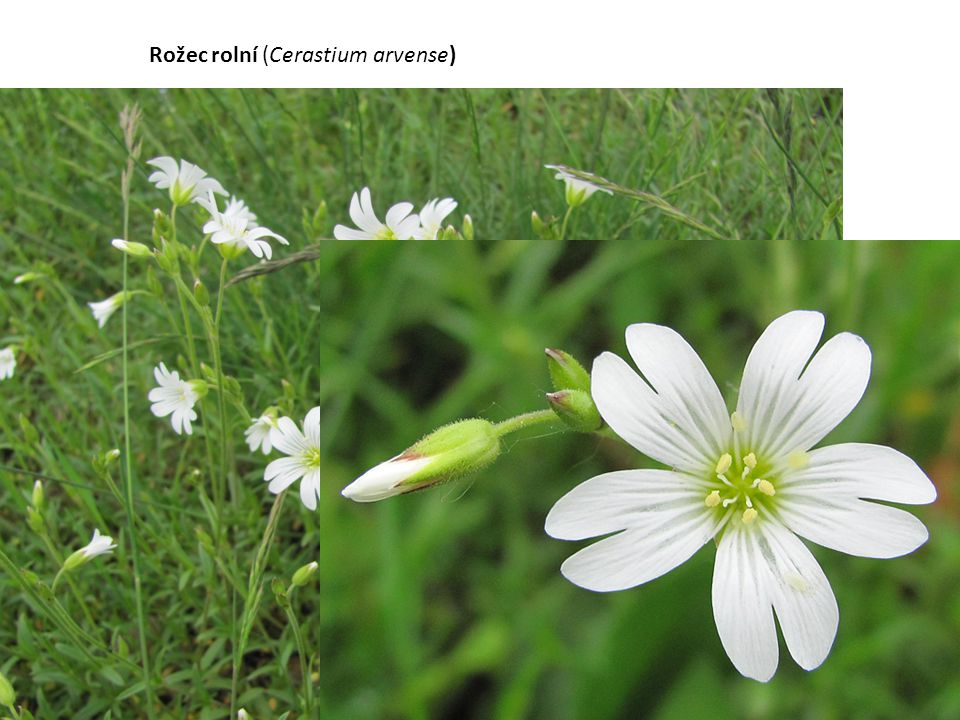 Rožec rolní (Cerastium arvense)