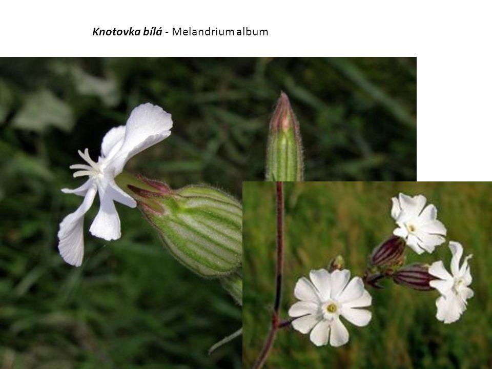 Knotovka bílá - Melandrium album