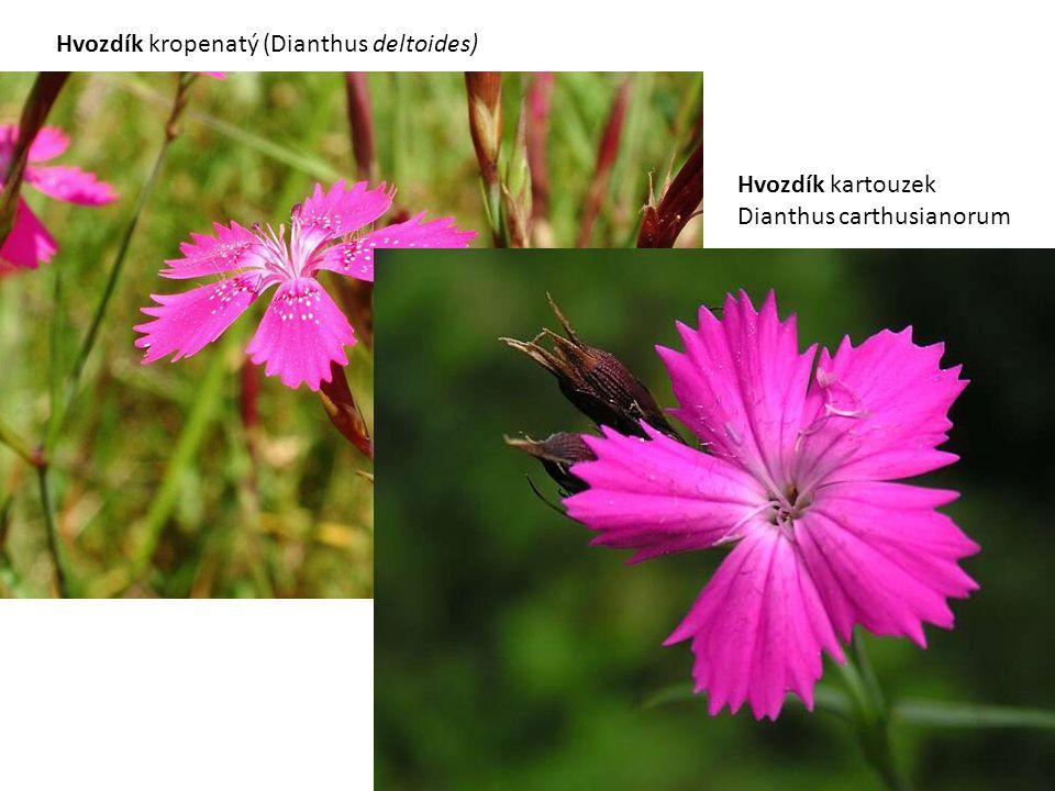 Hvozdík kartouzek Dianthus carthusianorum Hvozdík kropenatý (Dianthus deltoides)