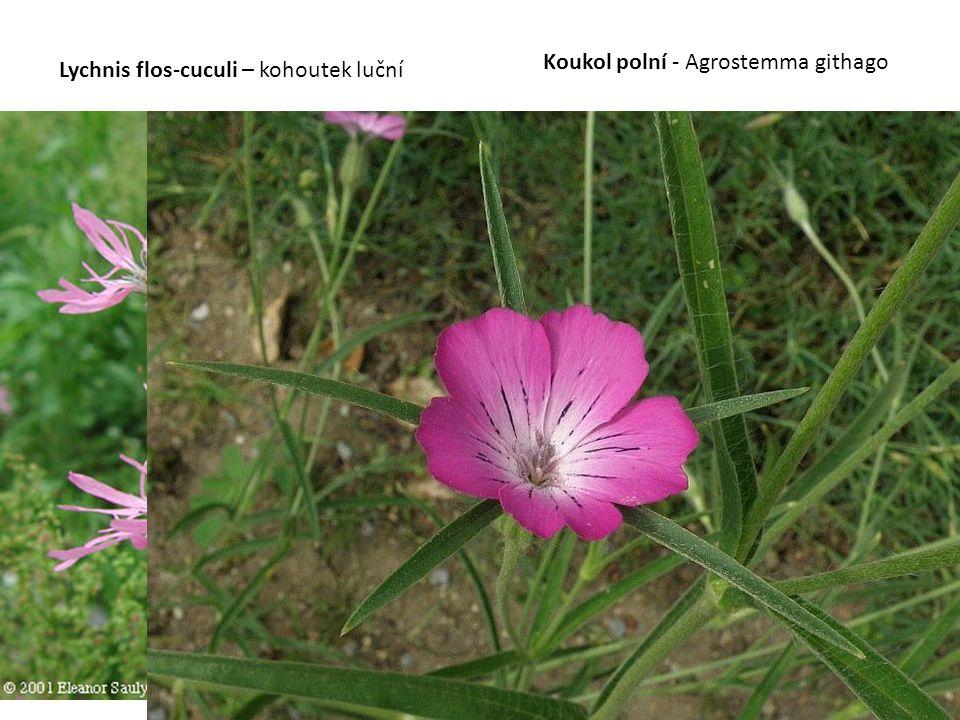 Lychnis flos-cuculi – kohoutek luční Koukol polní - Agrostemma githago