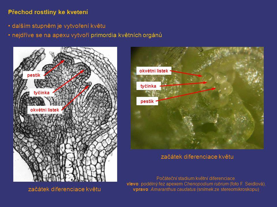 Přechod rostliny ke kvetení dalším stupněm je vytvoření květu nejdříve se na apexu vytvoří primordia květních orgánů začátek diferenciace květu Počáte