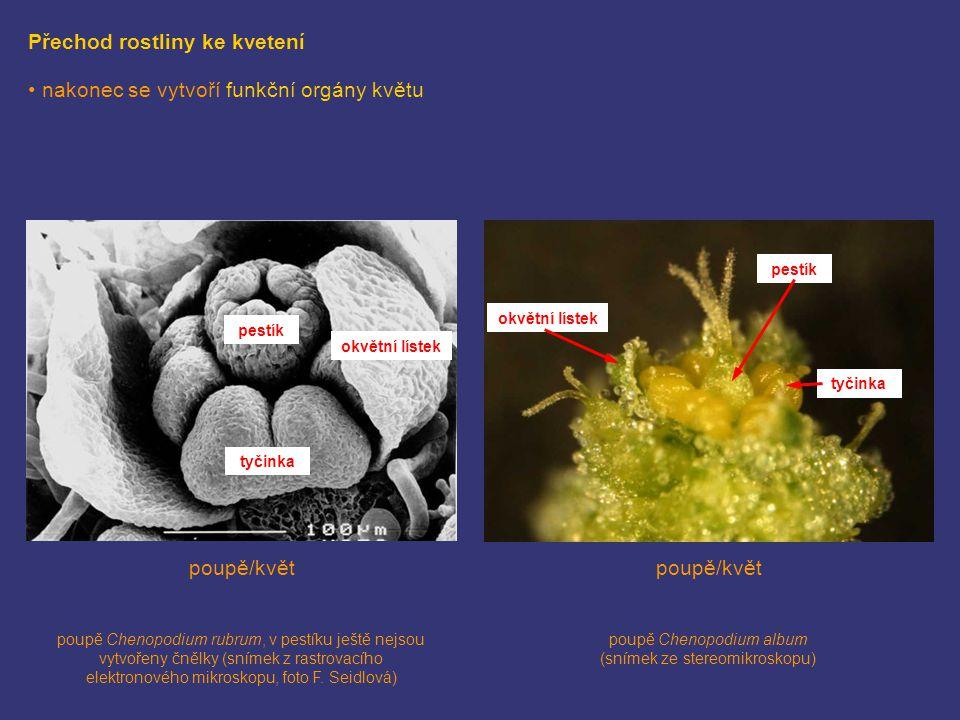 Přechod rostliny ke kvetení nakonec se vytvoří funkční orgány květu pestík okvětní lístek tyčinka pestík okvětní lístek tyčinka poupě/květ poupě Cheno