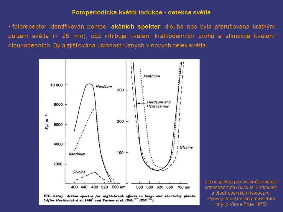 Fotoperiodická květní indukce - detekce světla fotoreceptor identifikován pomocí akčních spekter: dlouhá noc byla přerušována krátkým pulzem světla (<