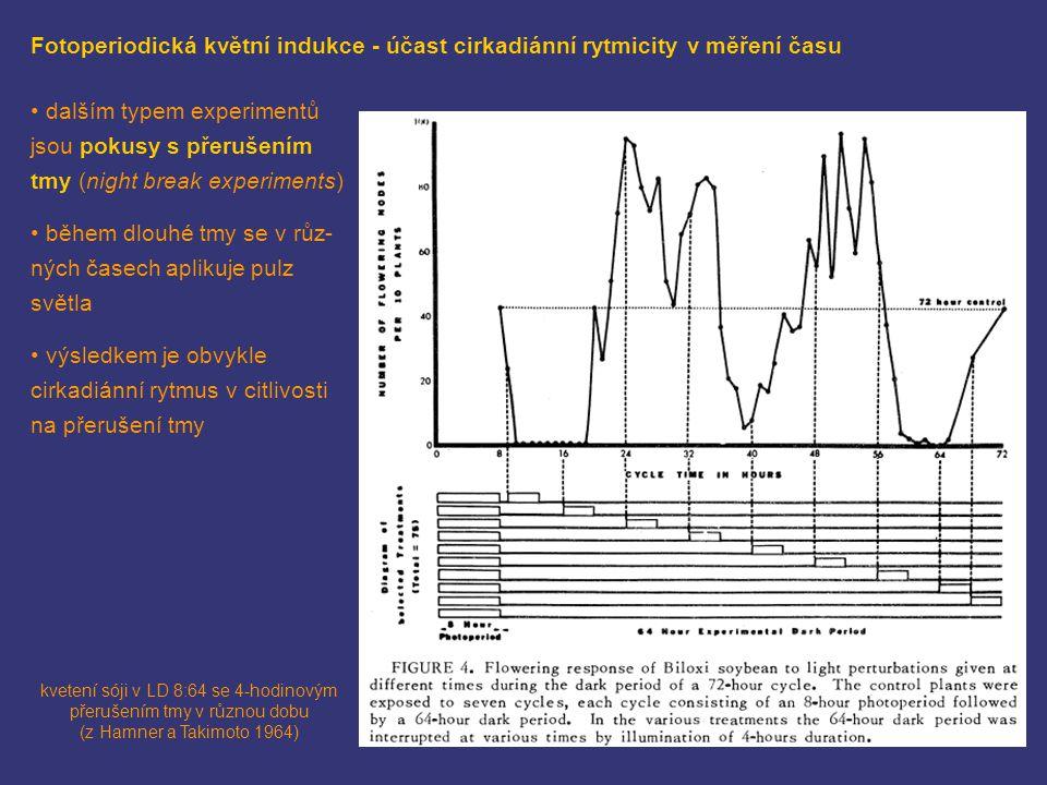 kvetení sóji v LD 8:64 se 4-hodinovým přerušením tmy v různou dobu (z Hamner a Takimoto 1964) Fotoperiodická květní indukce - účast cirkadiánní rytmic