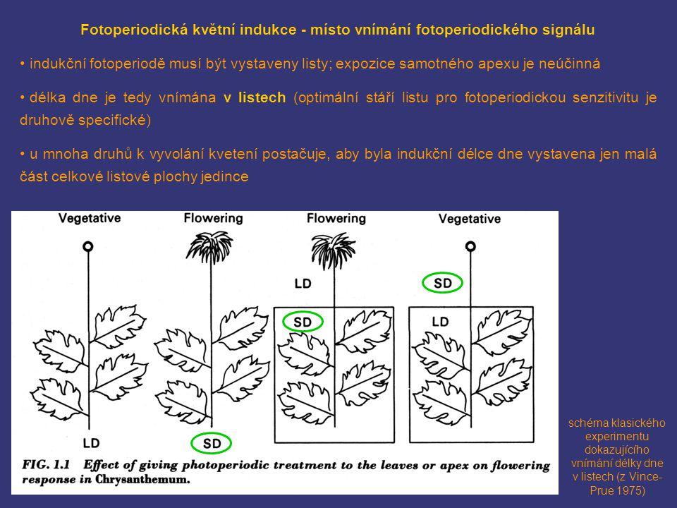 schéma klasického experimentu dokazujícího vnímání délky dne v listech (z Vince- Prue 1975) Fotoperiodická květní indukce - místo vnímání fotoperiodic