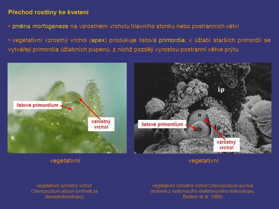 Přechod rostliny ke kvetení změna morfogeneze na vzrostném vrcholu hlavního stonku nebo postranních větví vegetativní vzrostný vrchol (apex) produkuje