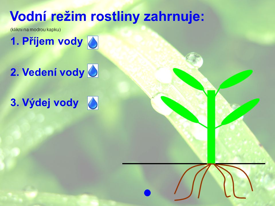 Vodní režim rostliny zahrnuje: 1. Příjem vody 2. Vedení vody 3. Výdej vody (klikni na modrou kapku)