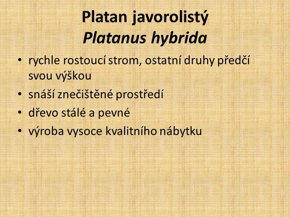 Platan javorolistý Platanus hybrida rychle rostoucí strom, ostatní druhy předčí svou výškou snáší znečištěné prostředí dřevo stálé a pevné výroba vysoce kvalitního nábytku