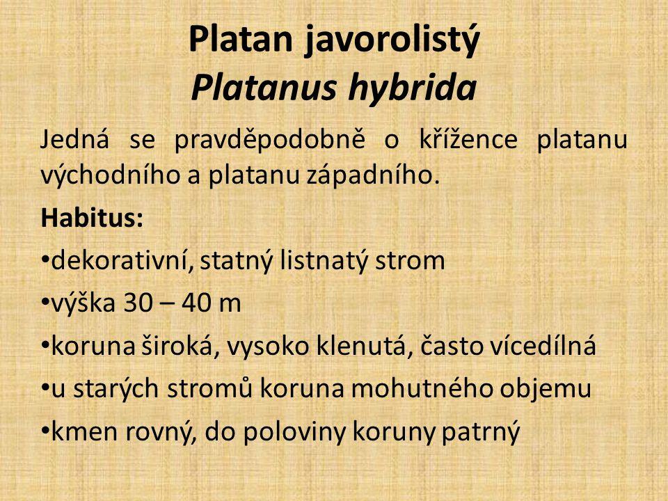 Platan javorolistý Platanus hybrida Jedná se pravděpodobně o křížence platanu východního a platanu západního.