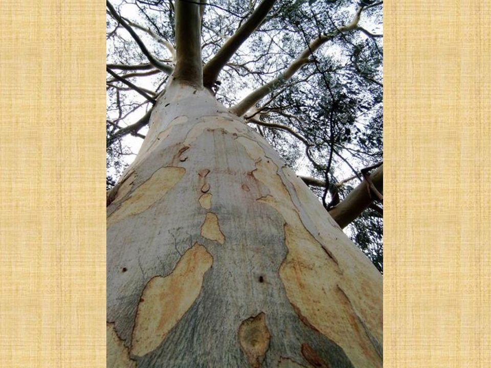 Platan javorolistý Platanus hybrida Listy: střídavé (rozdíl oproti podobně vyhlížejícímu javoru!!!) 15 – 20 cm dlouhé okrouhlý obrys dlanitě členěné na 3 – 5 (7) laloků vykrojené nejvýš do středu čepele na líci hladké, leskle zelené, na rubu světlejší, většinou lysé