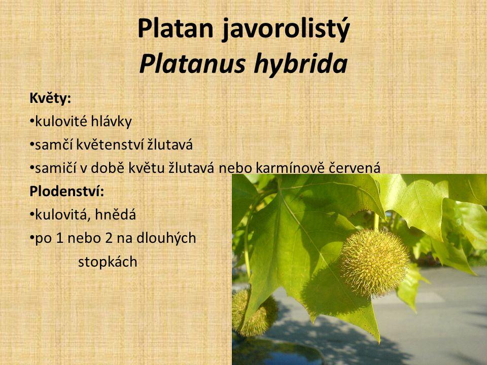 Platan javorolistý Platanus hybrida Květy: kulovité hlávky samčí květenství žlutavá samičí v době květu žlutavá nebo karmínově červená Plodenství: kulovitá, hnědá po 1 nebo 2 na dlouhých stopkách