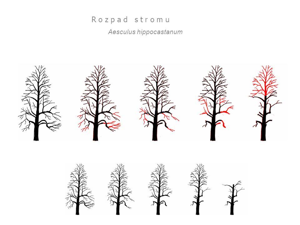 Aesculus hippocastanum R o z p a d s t r o m u