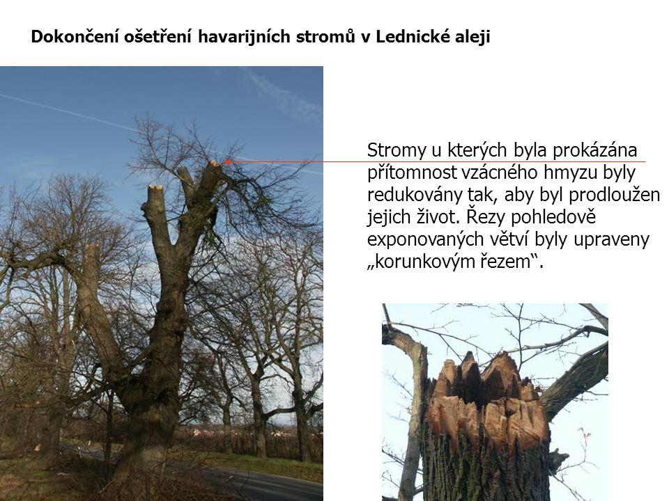 Dokončení ošetření havarijních stromů v Lednické aleji Stromy u kterých byla prokázána přítomnost vzácného hmyzu byly redukovány tak, aby byl prodlouž