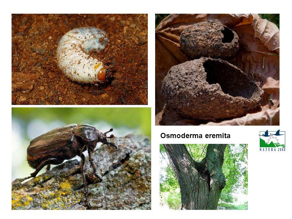 Osmoderma eremita