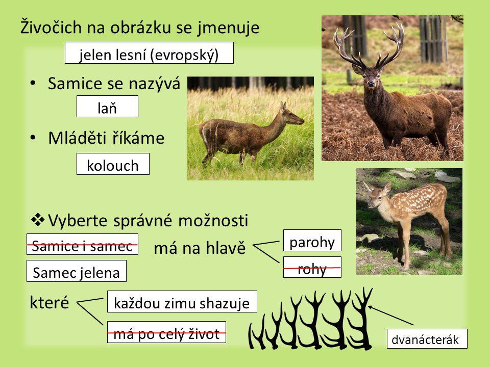 Živočich na obrázku se jmenuje Samice se nazývá Mláděti říkáme  Vyberte správné možnosti má na hlavě které jelen lesní (evropský) laň kolouch Samice i samec Samec jelena rohy parohy má po celý život každou zimu shazuje dvanácterák