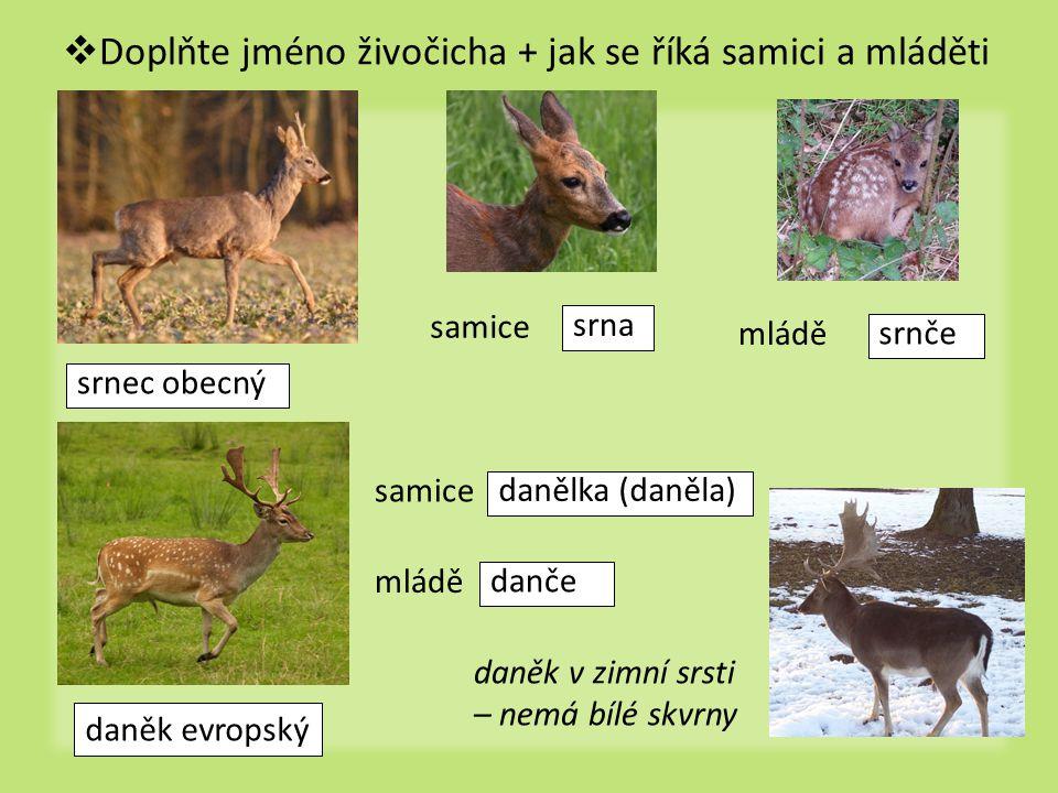  Doplňte jméno živočicha + jak se říká samici a mláděti srnec obecný srna srnče danělka (daněla) danče samice mládě samice mládě daněk v zimní srsti – nemá bílé skvrny daněk evropský