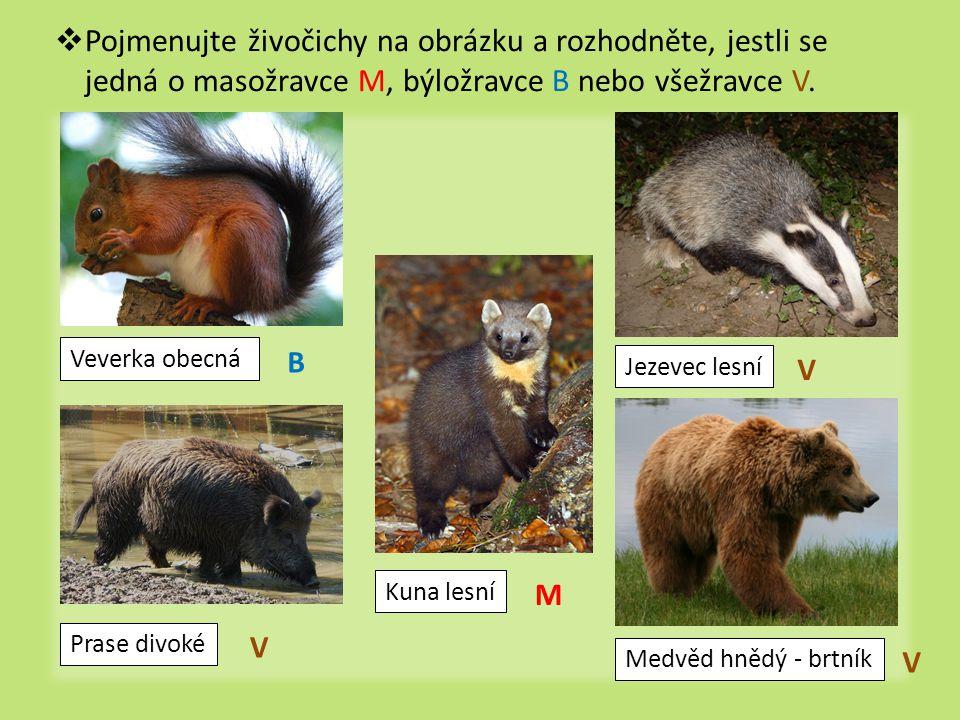  Pojmenujte živočichy na obrázku a rozhodněte, jestli se jedná o masožravce M, býložravce B nebo všežravce V. Veverka obecná Prase divoké Kuna lesní