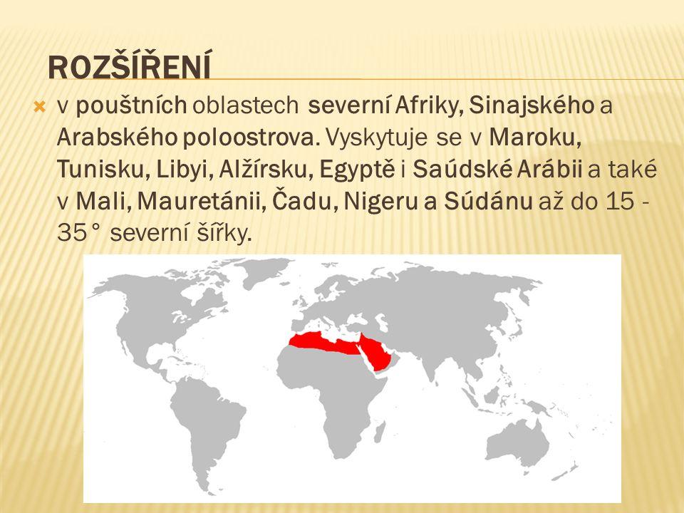  v pouštních oblastech severní Afriky, Sinajského a Arabského poloostrova. Vyskytuje se v Maroku, Tunisku, Libyi, Alžírsku, Egyptě i Saúdské Arábii a