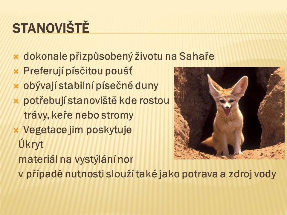 FENCI JAKO DOMÁCÍ MAZLÍČCI  jediný druh lišky, který se dá chovat jako domácí zvíře  v Česku se chová jako exotický mazlíček  zvyknou si na člověka  naučí se i na kočičí záchod  Mohou žít volně v bytě  V Česku podléhá chov fenků omezení (vyhláška č.