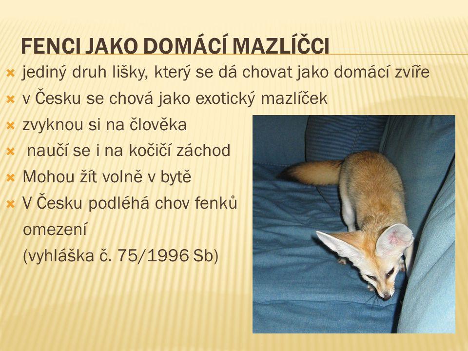 FENCI JAKO DOMÁCÍ MAZLÍČCI  jediný druh lišky, který se dá chovat jako domácí zvíře  v Česku se chová jako exotický mazlíček  zvyknou si na člověka