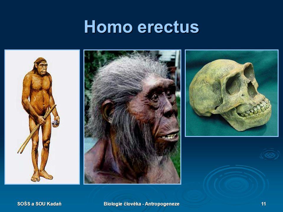 SOŠS a SOU KadaňBiologie člověka - Antropogeneze10 Homo erectus – člověk vzpřímený  Žil v Africe, Asii, Evropě.  1 mil. let – 350 tis. let  Výška 1
