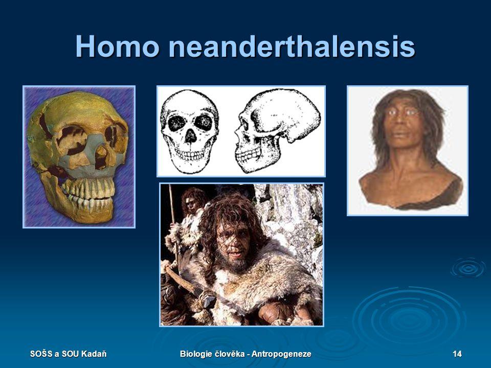 SOŠS a SOU KadaňBiologie člověka - Antropogeneze13 Homo neanderthalensis  Vymřeli jako slepá vývojová větev.  Žili před 150 000–50 000 lety.  Výška