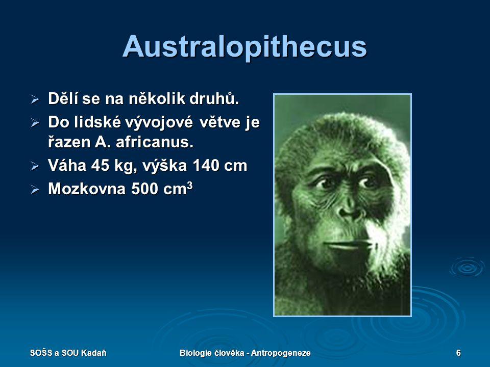 SOŠS a SOU KadaňBiologie člověka - Antropogeneze5 Ramaphitecus  Žil v Africe a Asii před 13–15 mil. lety.  Mozkovna 350 cm 3
