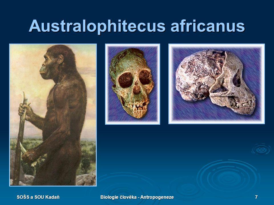 SOŠS a SOU KadaňBiologie člověka - Antropogeneze6 Australopithecus  Dělí se na několik druhů.  Do lidské vývojové větve je řazen A. africanus.  Váh