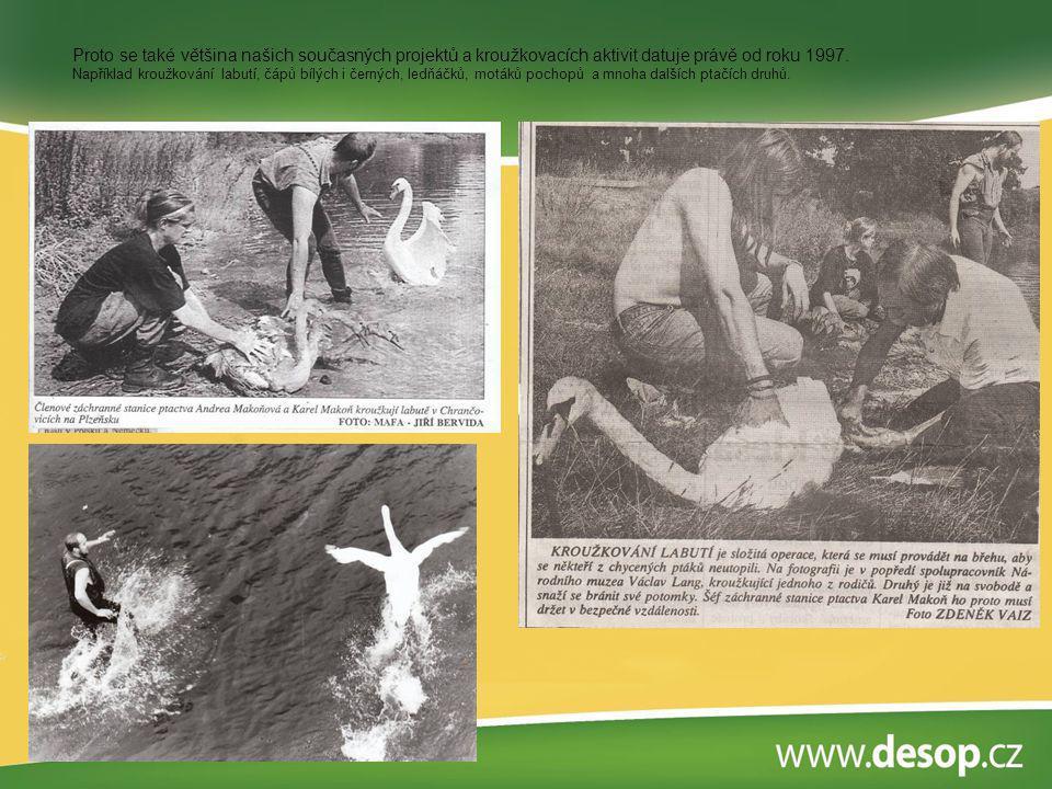 Nejúspěšnější kroužkovací akcí byl noční odchyt morčáků velkých zimujících na Berounce.