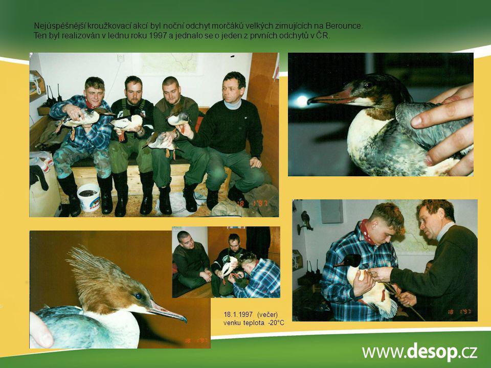Nejúspěšnější kroužkovací akcí byl noční odchyt morčáků velkých zimujících na Berounce. Ten byl realizován v lednu roku 1997 a jednalo se o jeden z pr