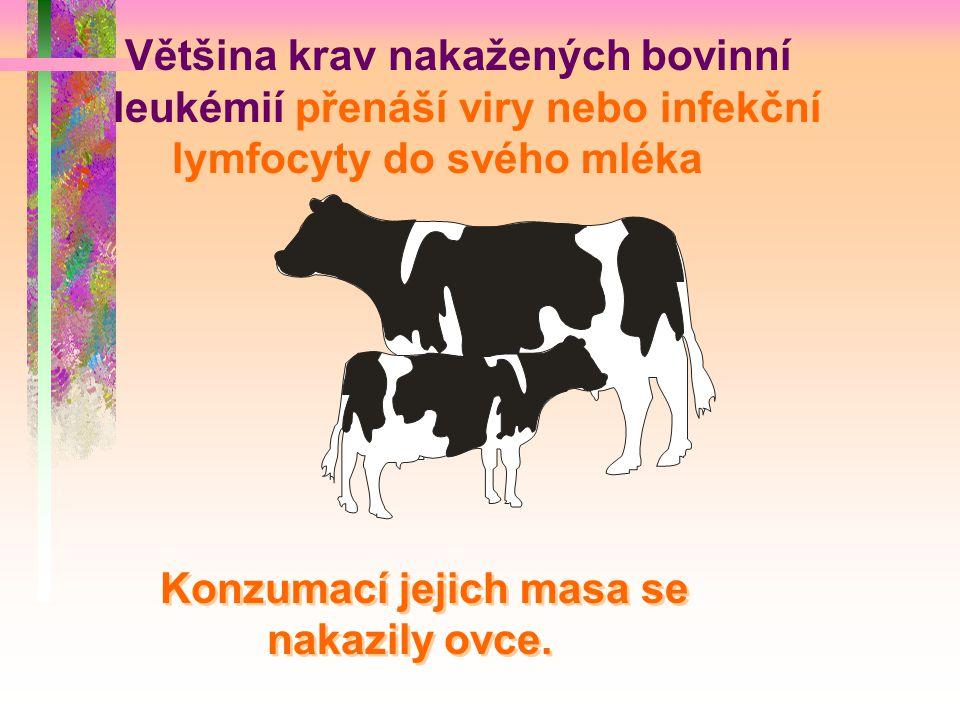 Většina krav nakažených bovinní leukémií přenáší viry nebo infekční lymfocyty do svého mléka Konzumací jejich masa se nakazily ovce. Většina krav naka