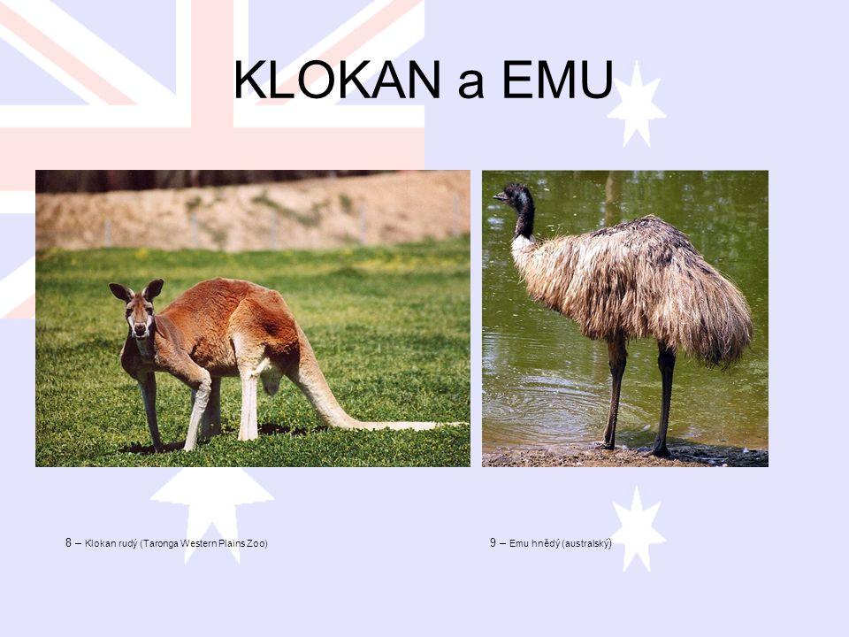 KLOKAN a EMU 8 – Klokan rudý (Taronga Western Plains Zoo) 9 – Emu hnědý (australský )