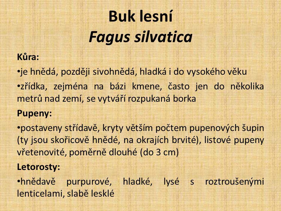 Buk lesní Fagus silvatica Kůra: je hnědá, později sivohnědá, hladká i do vysokého věku zřídka, zejména na bázi kmene, často jen do několika metrů nad