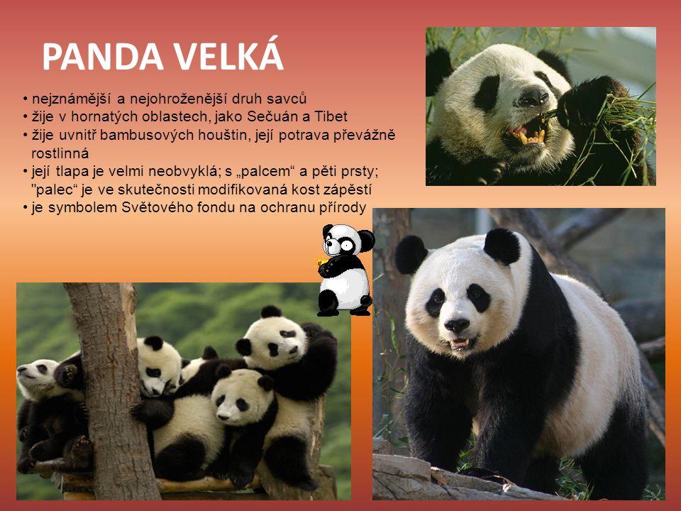 PANDA VELKÁ nejznámější a nejohroženější druh savců žije v hornatých oblastech, jako Sečuán a Tibet žije uvnitř bambusových houštin, její potrava přev