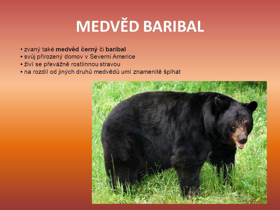 MEDVĚD BARIBAL zvaný také medvěd černý či baribal svůj přirozený domov v Severní Americe živí se převážně rostlinnou stravou na rozdíl od jiných druhů