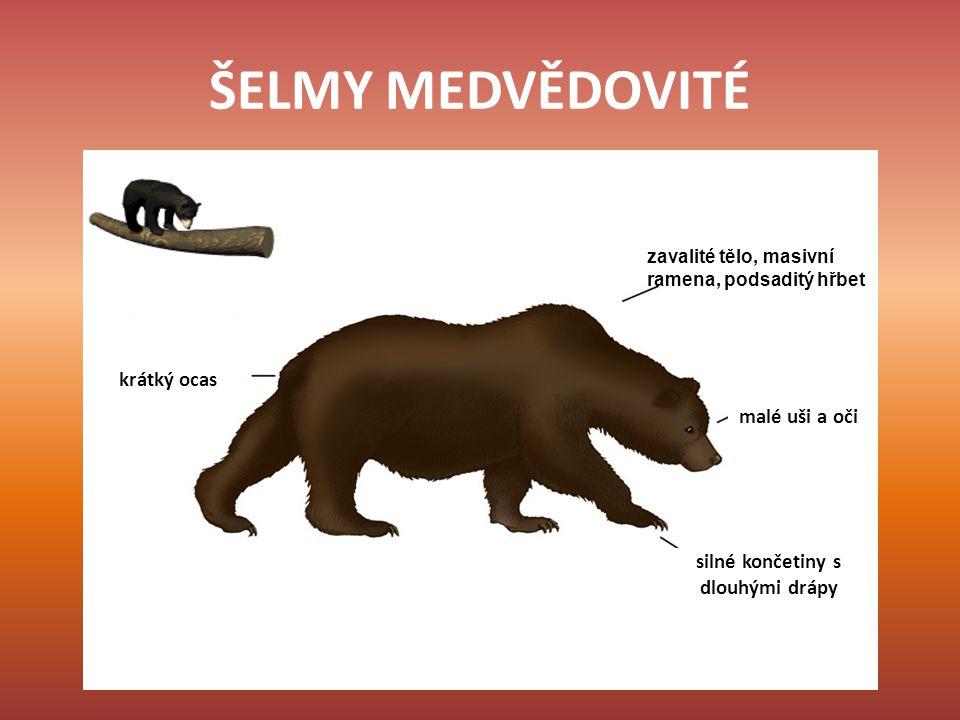 MEDVĚD HNĚDÝ největší evropská šelma nejrozšířenější druh medvěda délka 2 - 4 m, hmotnost 100 - 800 kg délka života 20 - 30 let aktivní především ve dne v zimě upadá do nepravého zimního spánku všežravec mláďata, nejčastěji se rodí dvě