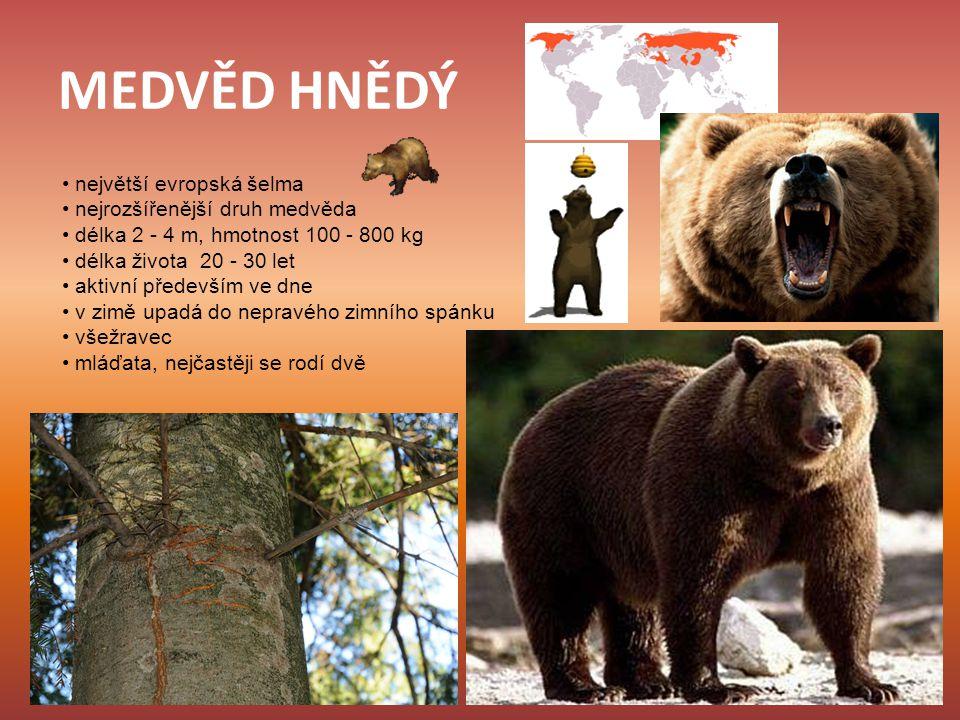 MEDVĚD HNĚDÝ největší evropská šelma nejrozšířenější druh medvěda délka 2 - 4 m, hmotnost 100 - 800 kg délka života 20 - 30 let aktivní především ve d