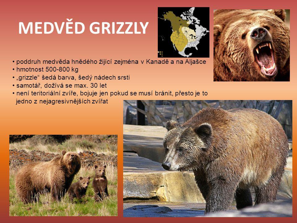 """MEDVĚD GRIZZLY poddruh medvěda hnědého žijící zejména v Kanadě a na Aljašce hmotnost 500-800 kg """"grizzle"""" šedá barva, šedý nádech srsti samotář, dožív"""