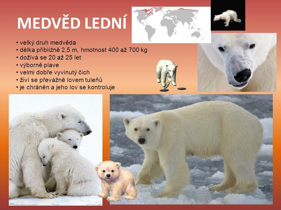MEDVĚD LEDNÍ velký druh medvěda délka přibližně 2,5 m, hmotnost 400 až 700 kg dožívá se 20 až 25 let výborně plave velmi dobře vyvinutý čich živí se p