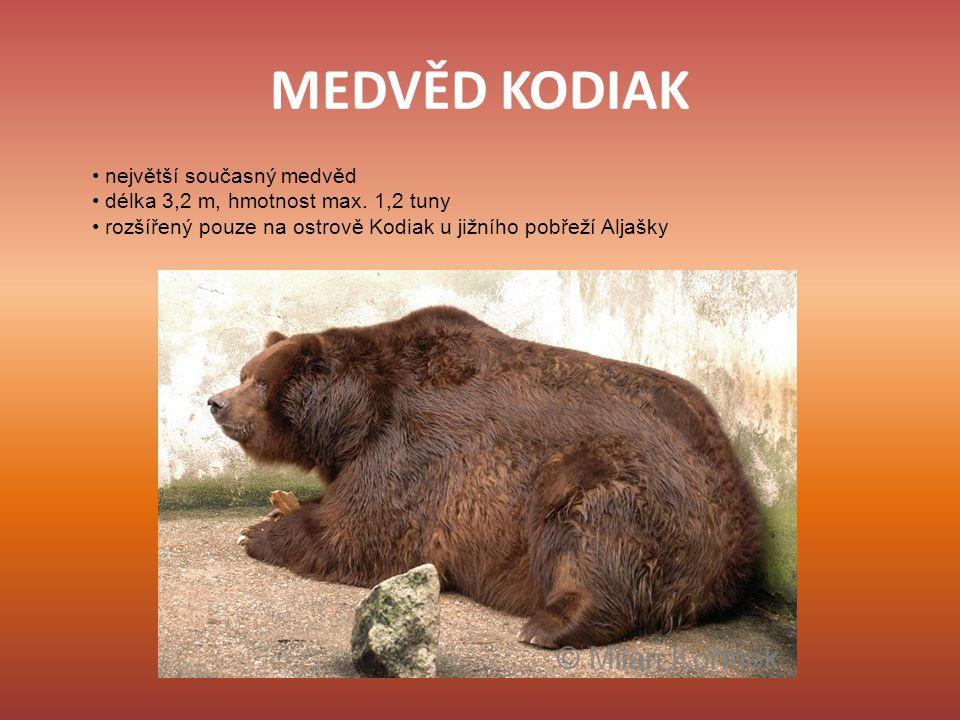 MEDVĚD KODIAK největší současný medvěd délka 3,2 m, hmotnost max. 1,2 tuny rozšířený pouze na ostrově Kodiak u jižního pobřeží Aljašky