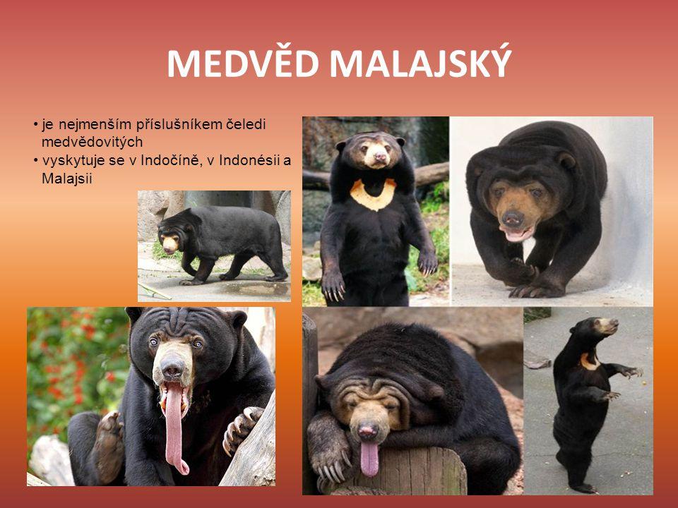 MEDVĚD MALAJSKÝ je nejmenším příslušníkem čeledi medvědovitých vyskytuje se v Indočíně, v Indonésii a Malajsii