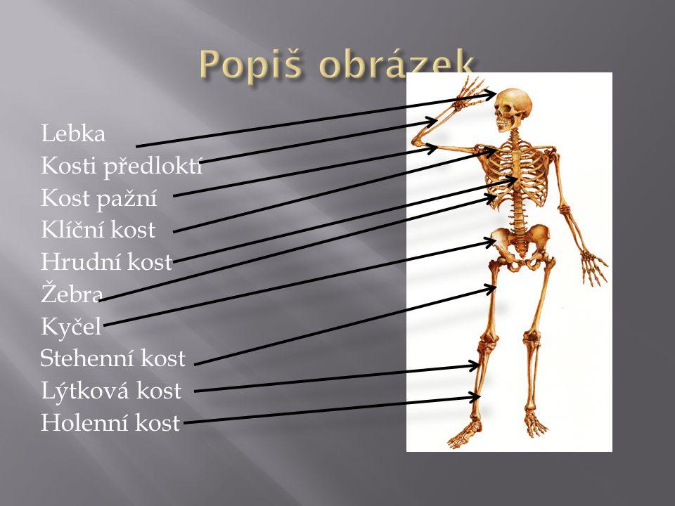 Lebka Kosti předloktí Kost pažní Klíční kost Hrudní kost Žebra Kyčel Stehenní kost Lýtková kost Holenní kost