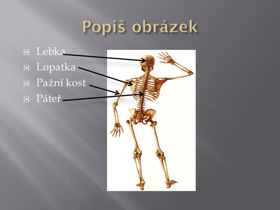  Lebka  Lopatka  Pažní kost  Páteř