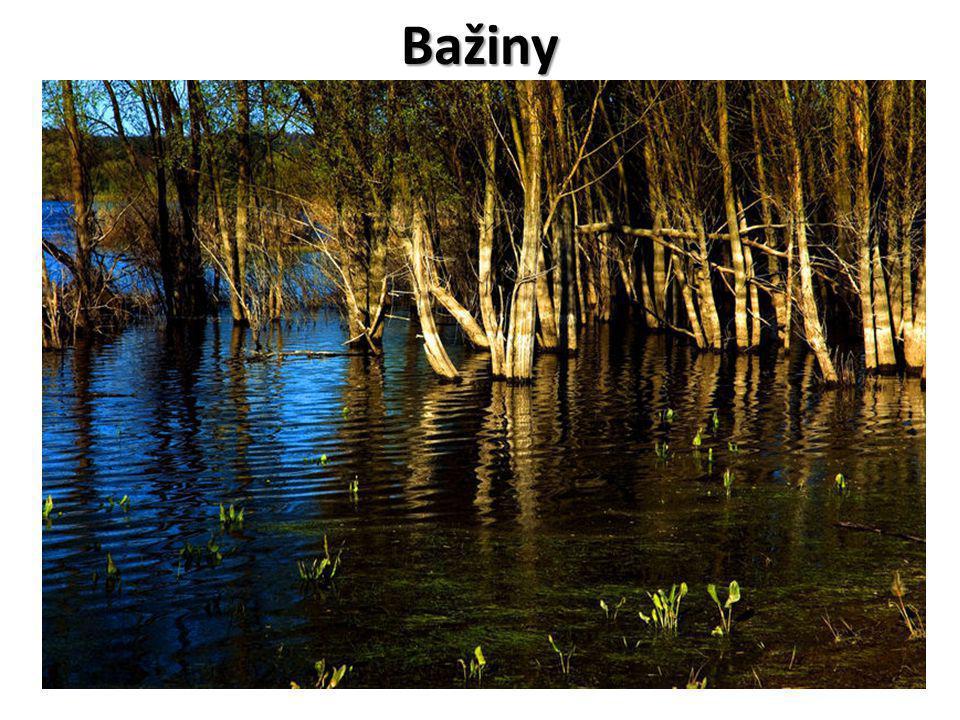 Význam mokřadů Představují přirozenou zásobárnu vody v krajině Představují přirozenou zásobárnu vody v krajině Mají značnou retenční schopnost v případě nadměrných srážek Mají značnou retenční schopnost v případě nadměrných srážek Poskytují vhodné podmínky pro existenci specifických mokřadních organismů Poskytují vhodné podmínky pro existenci specifických mokřadních organismů Jsou přirozeným prostředím celé řadě rostlin a živočichů pro život v mokřadech přizpůsobených Jsou přirozeným prostředím celé řadě rostlin a živočichů pro život v mokřadech přizpůsobených Je to jeden z největších fondů genetické biodiverzity Je to jeden z největších fondů genetické biodiverzity Patří mezi tři biotopy s největší biologickou aktivitou (po deštných pralesech a korálových útesech) Patří mezi tři biotopy s největší biologickou aktivitou (po deštných pralesech a korálových útesech) Jsou považovány za vysoce cenné biotopy Jsou považovány za vysoce cenné biotopy Jejich počet i rozloha, na které se vyskytují, však ubývá Jejich počet i rozloha, na které se vyskytují, však ubývá