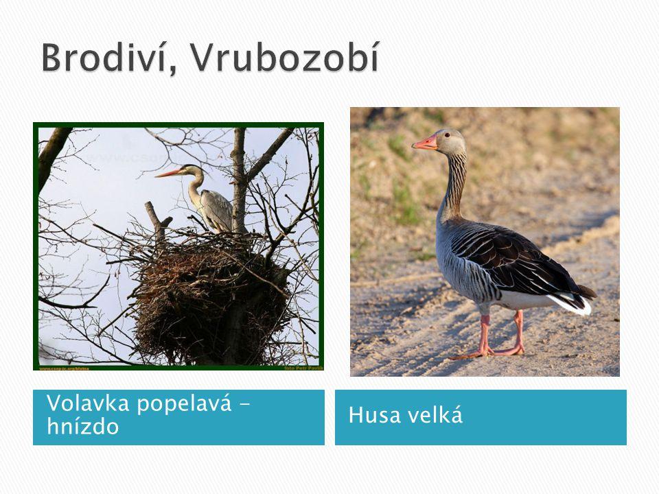 Volavka popelavá - hnízdo Husa velká