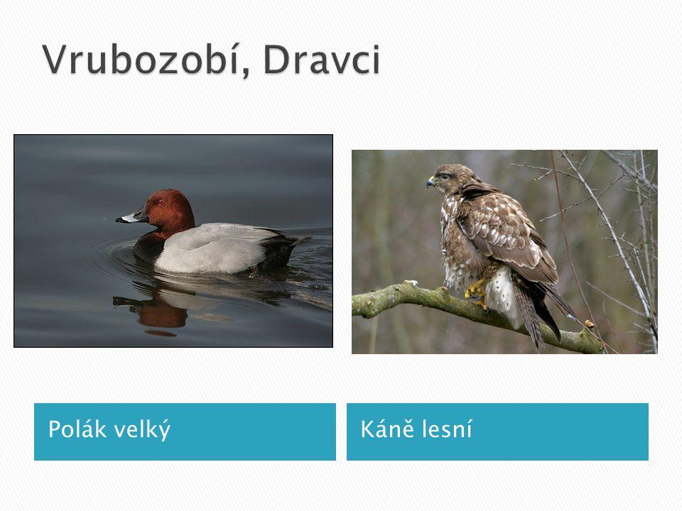 Polák velkýKáně lesní