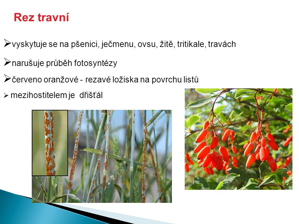  vyskytuje se na pšenici, ječmenu, ovsu, žitě, tritikale, travách  narušuje průběh fotosyntézy  červeno oranžové - rezavé ložiska na povrchu listů Rez travní  mezihostitelem je dřišťál