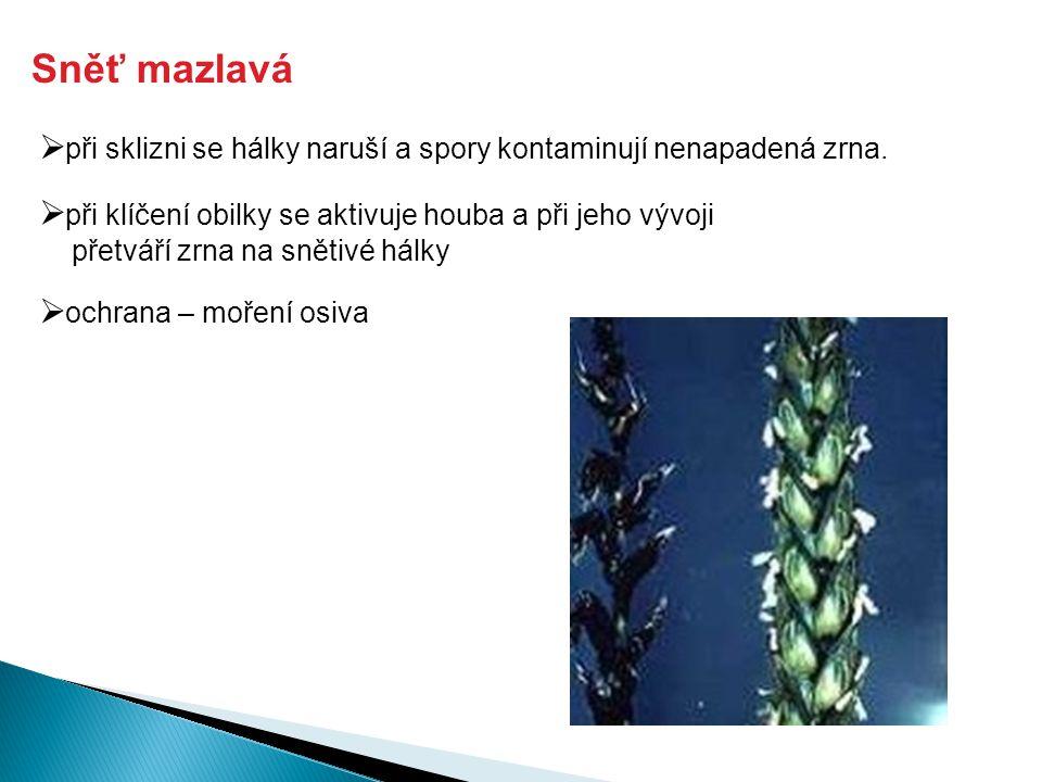 Sněť mazlavá  ochrana – moření osiva  při sklizni se hálky naruší a spory kontaminují nenapadená zrna.  při klíčení obilky se aktivuje houba a při
