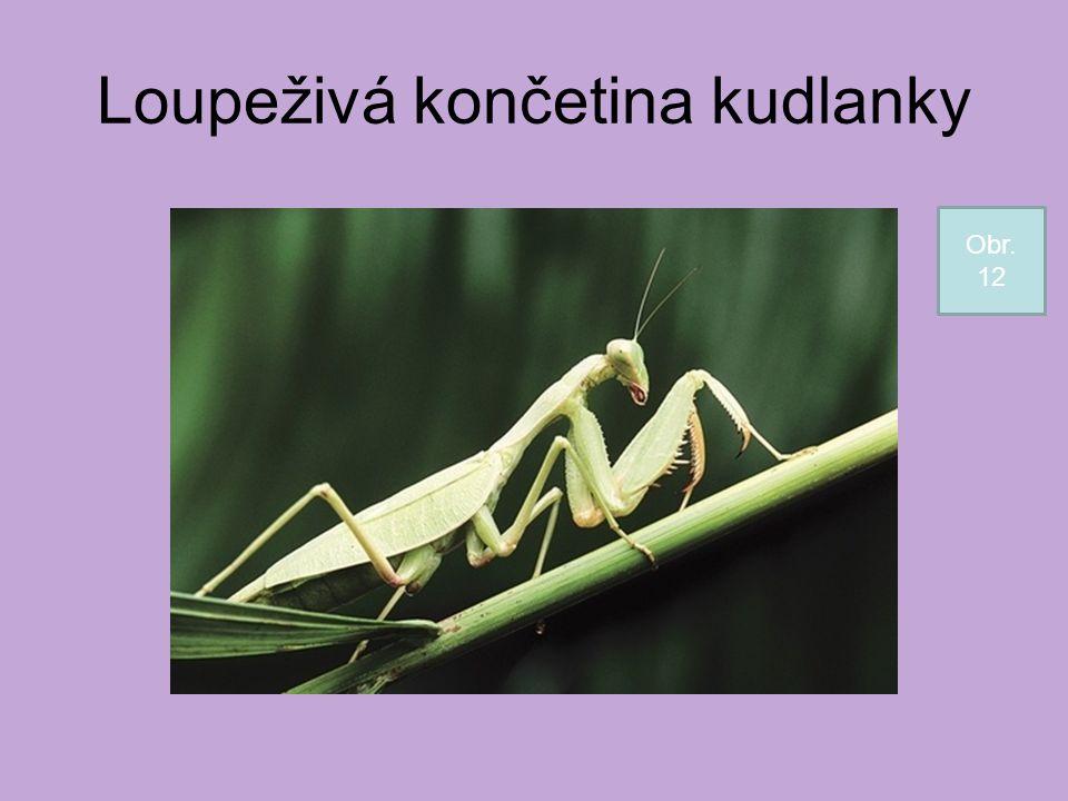 Loupeživá končetina kudlanky Obr. 12
